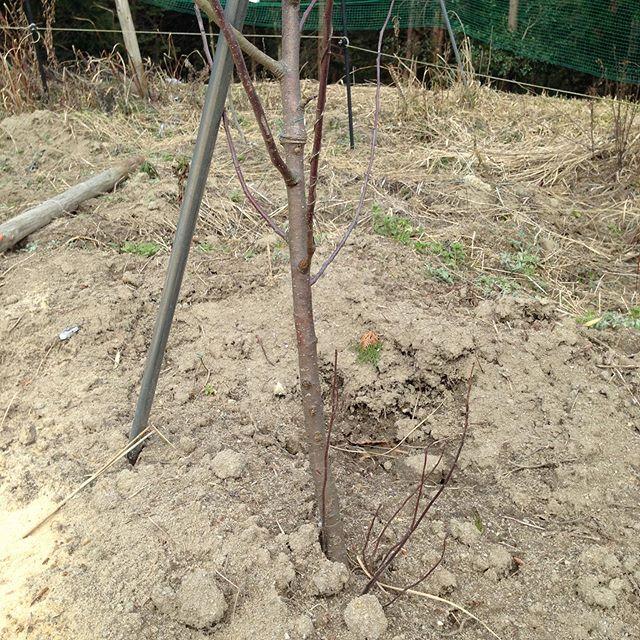 りんごの木の草取り作業と竹の伐採です!午後から畑を耕す。たまにこんな人が居るのを思い出しました!りんごやみかん等木になる果実は、1年で実をつけて収入になると思ってる方も世の中にはいらっしゃいます。今から竹を切りに行きますが、竹と同じイメージなんだと思ったのか?それとも?