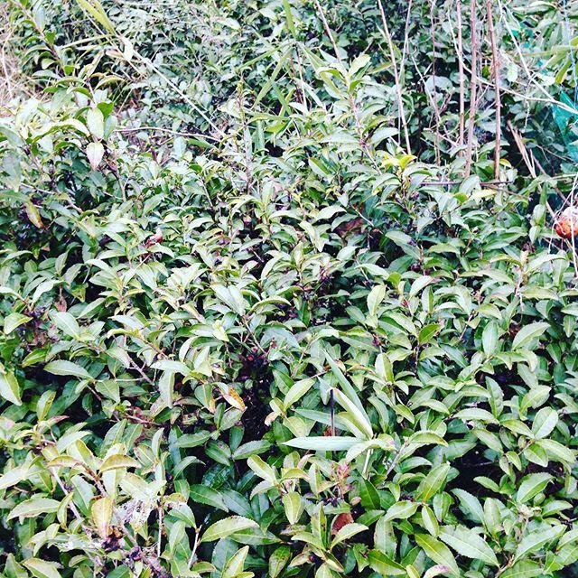 茶の木を午前中に整えて5月に新芽が出やすい様にする作業をします!