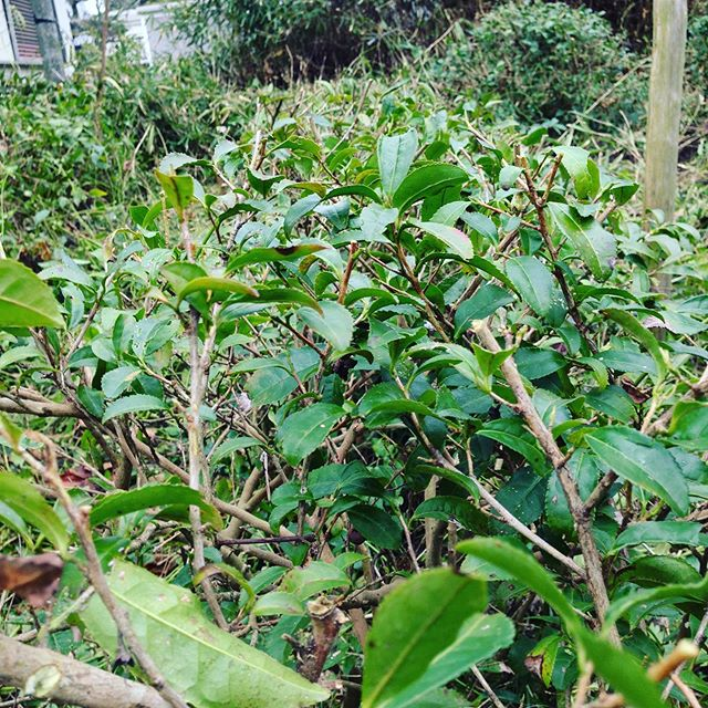 1番低い列の茶の木です!更に調整して整えて行きます。新しい苗のお引越し作業と続きます!