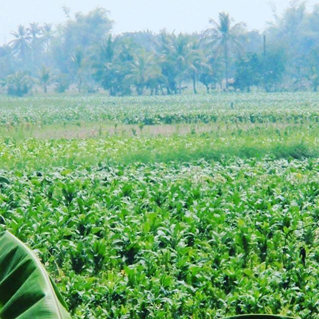 タイの東北イサンの友達の畑です!青パパイヤのソムタムは有名ですね!道でとんでもい大きな蛇とか見てビックリ!この作物は、乾燥して販売をしてます。沖縄でもこの栽培風景を見たことありますよ!答えは皆さんのご想像にお任せします。