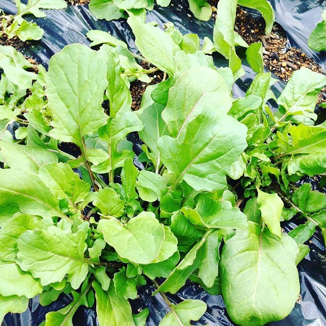 壬生菜が終わって水菜類が収穫を控えます!初夏の野菜や夏野菜に変化していきますね〜お菓子作りは、試作で納得いくまで毎日夜甘い匂いです!年月が経過しましたが、まだお見せするスイーツまで時間下さい。