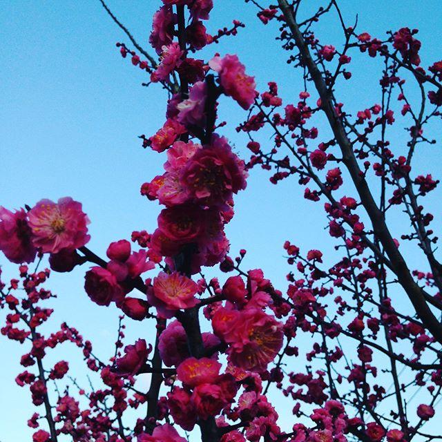 家の庭の梅が満開!