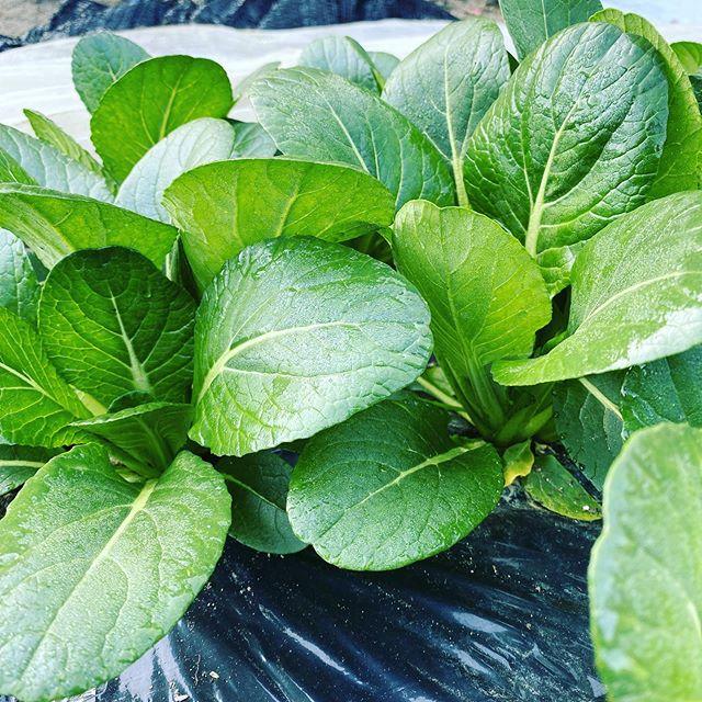 そろそろ私の畑は別の野菜に変わって行きます!他の専門農家さんが栽培して、こうして年中美味しい野菜が食べれます!私も色々と購入して食べてますよ!