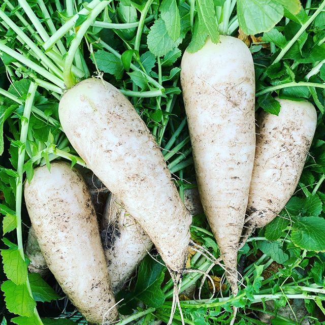 大根、品種は春慶 加工用ですが、少し出荷します。北風が冷たく晴れたり曇ったり気温8℃