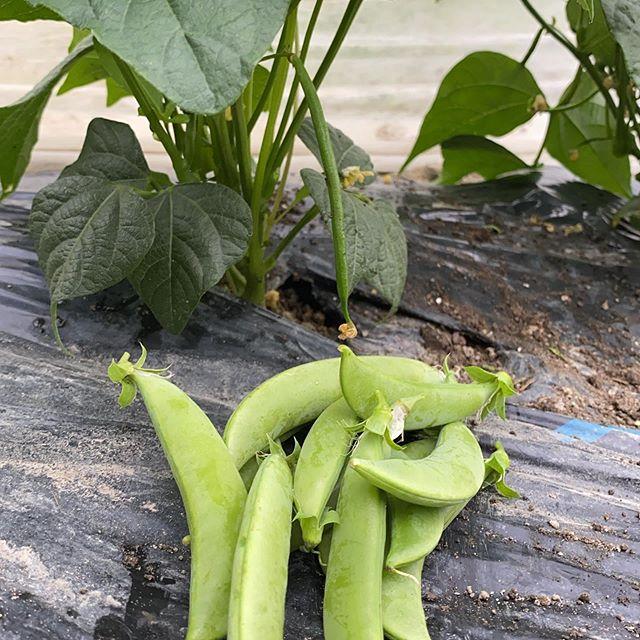 曇り空から小雨が降って来ましたが、昨日とほぼ同じ収穫してます。そろそろスナップえんどうが終わると次のインゲンにバトンタッチして、昨年同様のパターンで豆シリーズは、マメに続きます。明日は出荷お休みです!