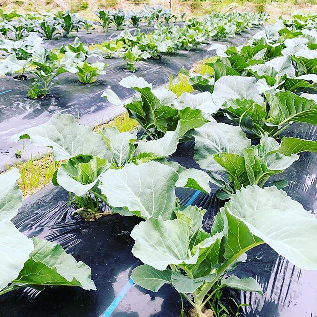 小雨が降ってきた朝一です。今日は生ニンニク、各種ケール、ねぎ、玉ねぎなどなど出荷します。