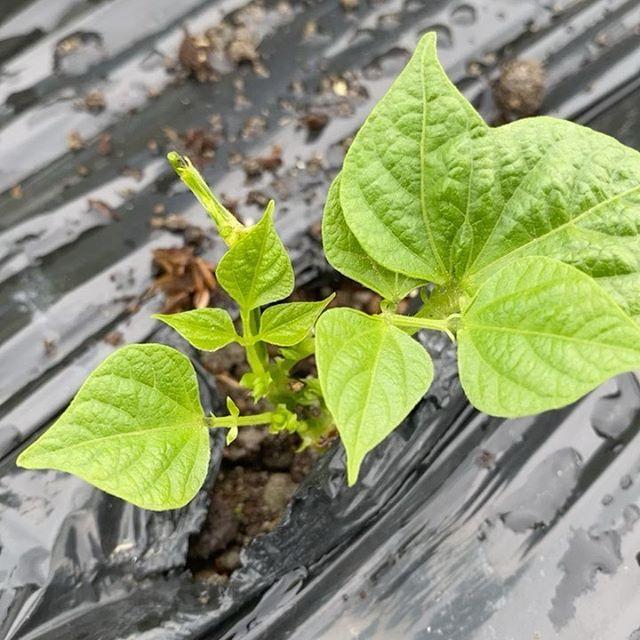 雨が一時的なのか?風が出てきました、雨が止んだので定植作業など開始!つるなしインゲンの成長様子とモロヘイヤ