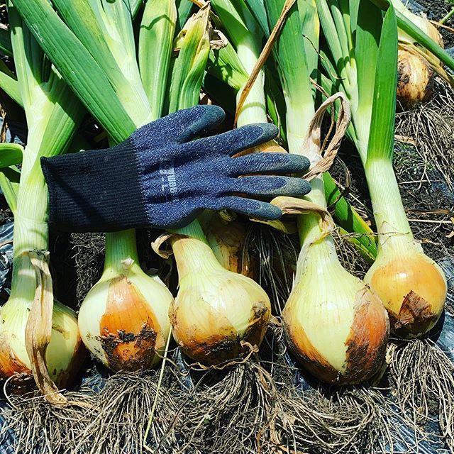 玉ねぎ 品種アトン一部、収穫開始 甘みを出す作業開始