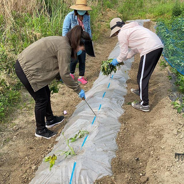 今日の農業女子チームは、新たに2名参加でサツマイモを定植などなど