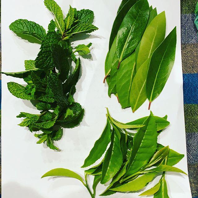 月桂樹、ミント、お茶 収穫完了