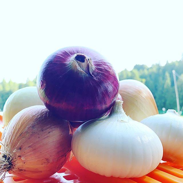 今日もいつも通り収穫出荷します。さて、玉ねぎなんですが、赤い玉ねぎを買ったけど赤く無い?熟成期間してない新玉ですね。うちは、今日から販売スタートです。南瓜など熟成(キュアリングで美味しくなる野菜や果物があるので、そう言う時はお店のソムリエさんに聞いて見てね。ちなみに写真の玉ねぎは全て品種が違います。🙂