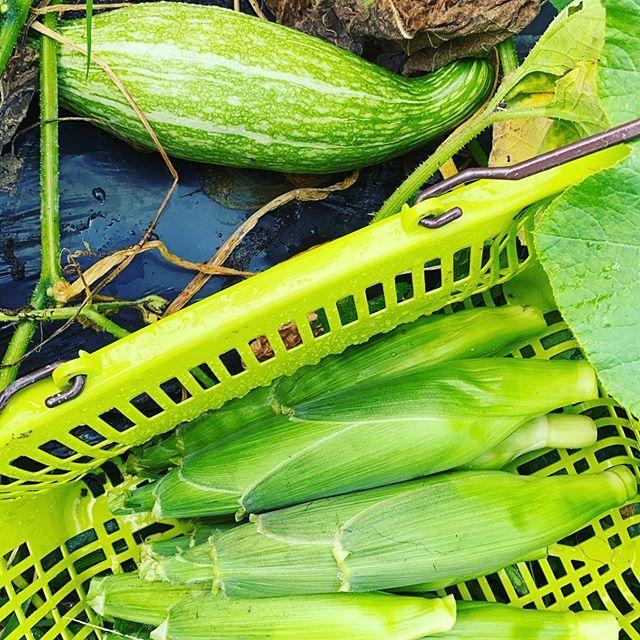 昨夜は雨が降り少しだけ畑は濡れてますが、収穫には影響ありません!色々と収穫中です。写真は南瓜とプラチナホワイトの激甘トウモロコシです。