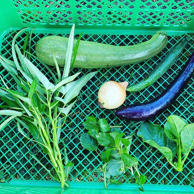 今日も15品目位の野菜を色々と収穫出荷します。朝一23℃の気温は太陽が上り30℃を目指してそうです!朝から暑いです。