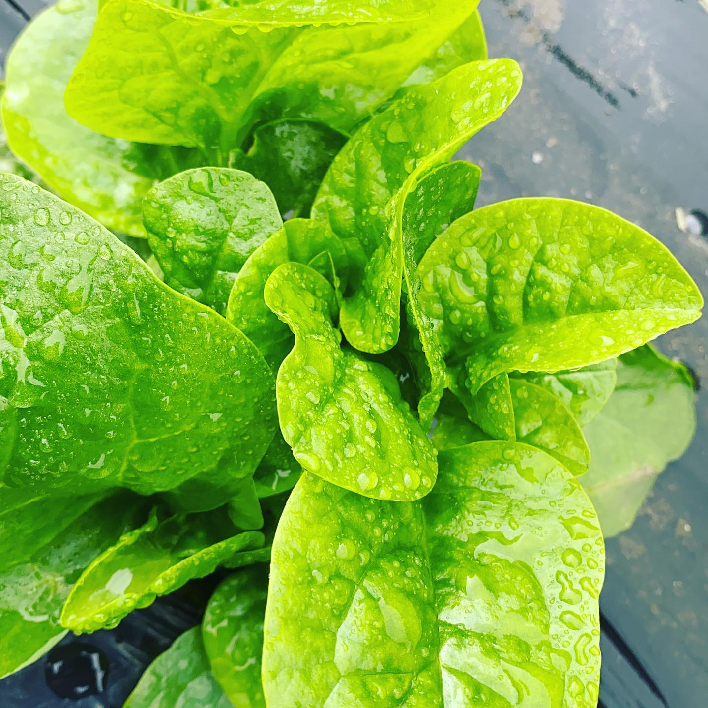 ツルムラサキ 気温22℃曇り空️昼から雨マークです。今日も通常通り収穫 昨日は雨の中お買い求めありがとうございます13〜品目的色々出ました。
