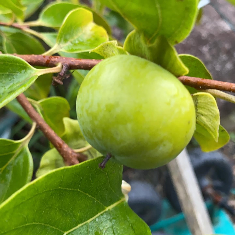 秋に向けて甘い柿、ダイダイ、ミカンが無事に実ってきました!また今日も雨ですが一歩前進。