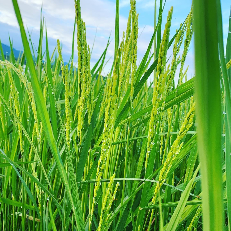 今日も朝から太陽出てますね️昨夜は雨も降ったので少しだけ土が濡れてます。今日は水曜日ですが、営業してます!通常通り収穫出荷します。写真は田んぼの様子です、今のところ前半の長雨を避けた推奨植えにしてあるので、ひょろっとしてない感じです。たくさん太陽浴びて健全に育ってくださいね〜と思う観察でした。